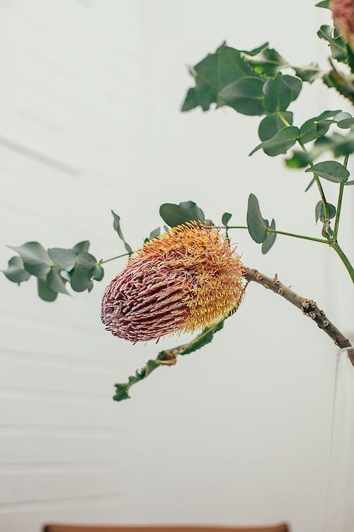 Banksia growing on twig in room