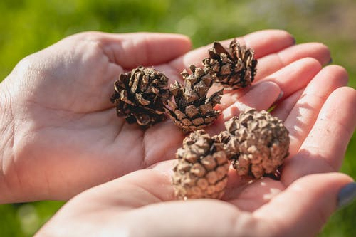 Brown Pine Cone on Persons Hand