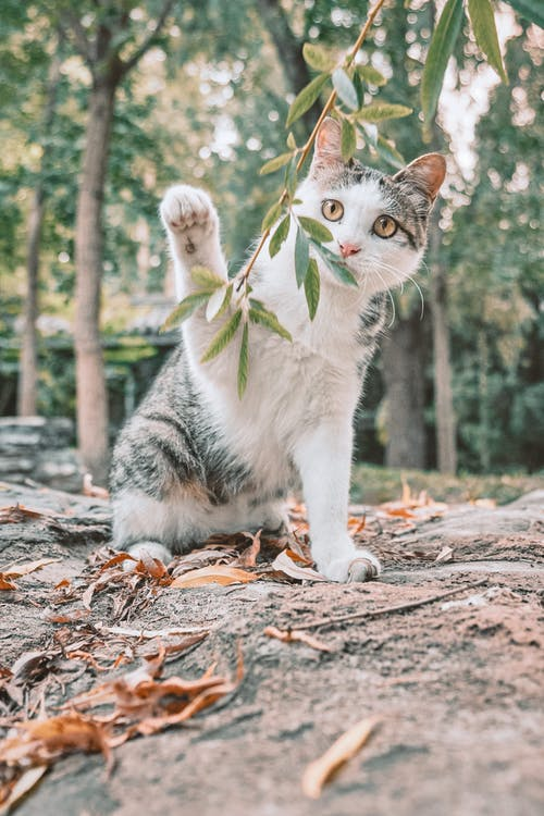 White and Grey Cat With Green Collar on Brown Ground