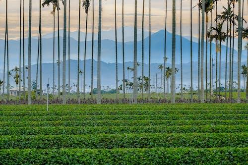 Ingyenes stockfotó bambusz, bor, farm, ipar témában