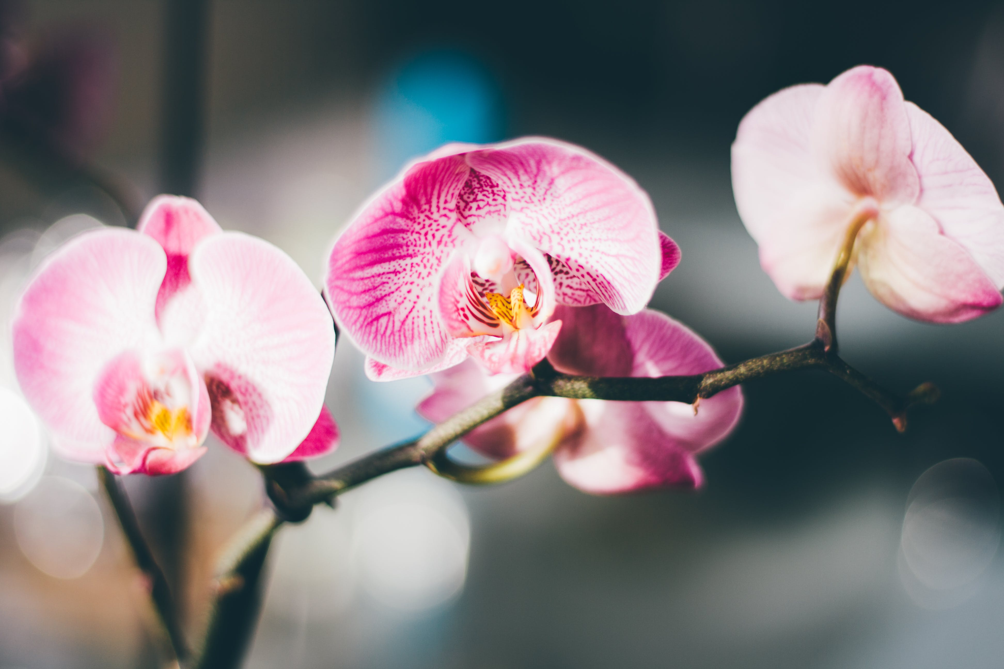 Close-Up Photography of a Pink and White Moth Orchid