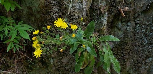 Ảnh lưu trữ miễn phí về alps, hoa dại, Hoa màu vàng, hoa trên đá