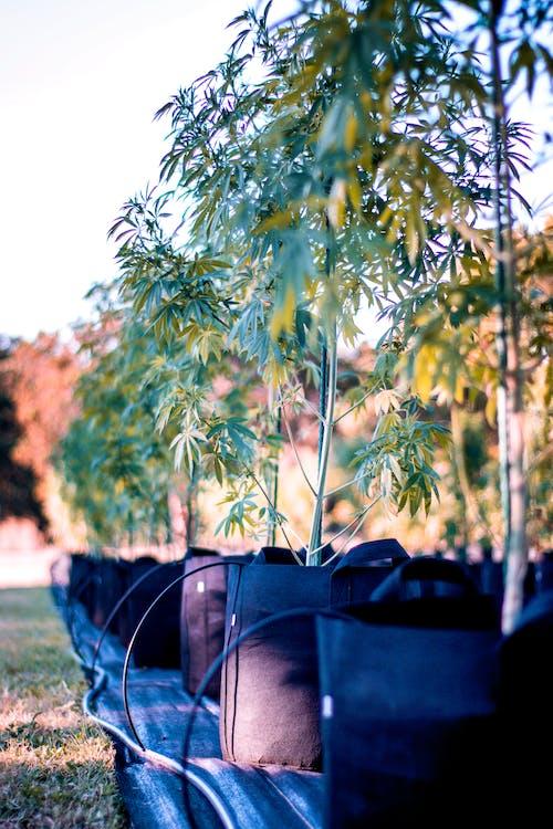 Marijuana Plants on the Grass