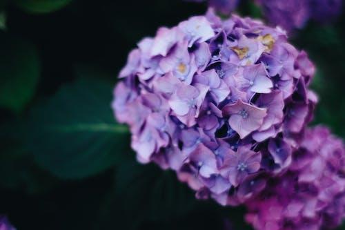 Bright purple hydrangea flower blooming in summer garden
