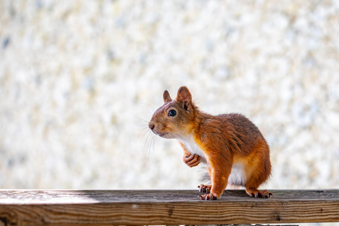 Brown Squirrel on Brown Wooden Fence
