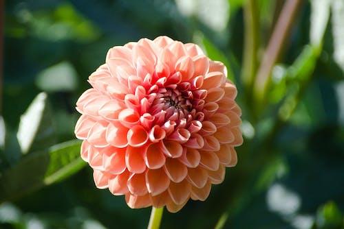 Close-Up Shot of a Beautiful Pink Dahlia