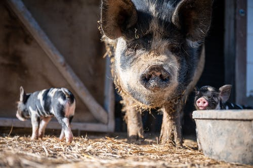 Big and small pigs on dry terrain on farm