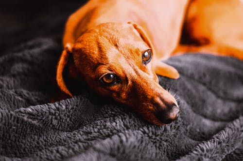 Brown Short Coated Dog Lying on Blue Textile