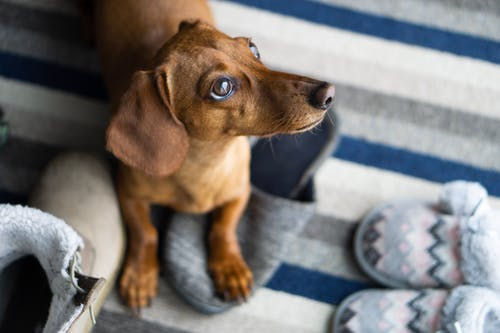 Brown Dachshund Puppy on Blue and White Textile