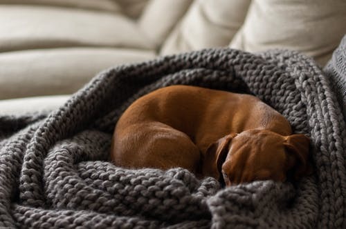 Free stock photo of asleep, at home, blanket, dachshund