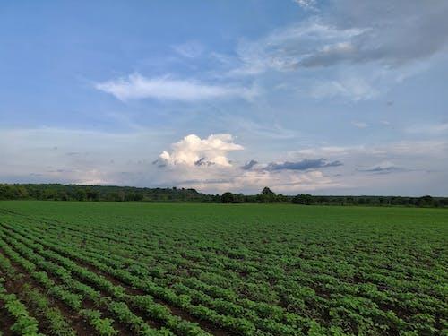 Free stock photo of corn field, green field