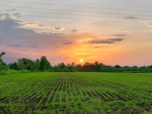 Free stock photo of corn field, depth of field, green field