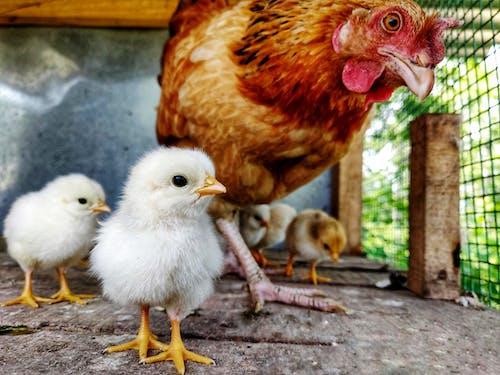 Free stock photo of chicken, chicken cube, chicken eggs
