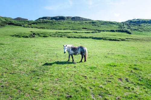 Dapple gray horse grazing on grassy green meadow on sunny day in hills