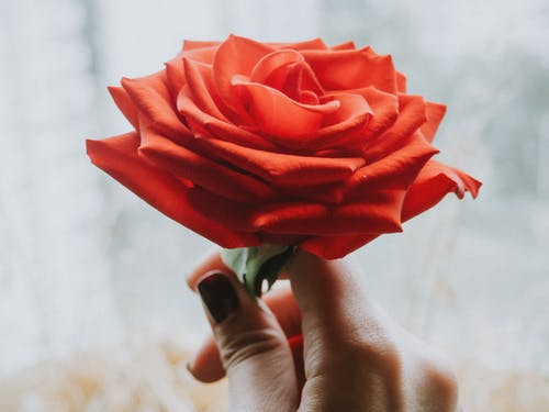 Hand Holding a Red Rose