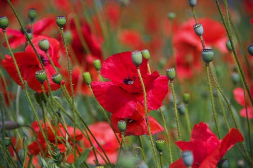 Bright poppies with colorful petals growing on grassy terrain near unblown flowers in daylight in sunny weather on blurred background