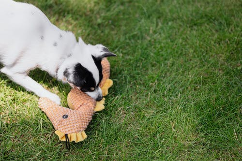 Photo of a Black and White Dog Biting a Seahorse Toy