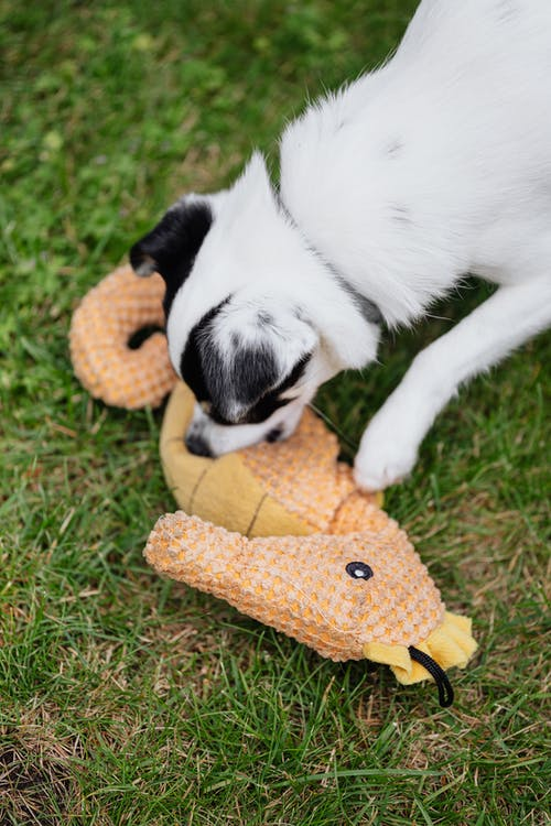 Close-Up Photo of a Black and White Dog Playing with a Toy