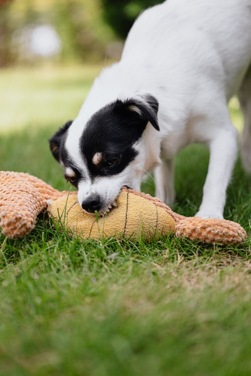 Selective Focus Photo of a Black and White Dog Biting a Toy
