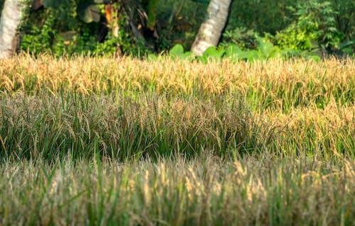 Fotos de stock gratuitas de agricultura, al aire libre, arroz, arrozal