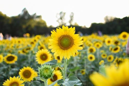 Foto stok gratis agrikultura, berkembang, bidang, bunga matahari