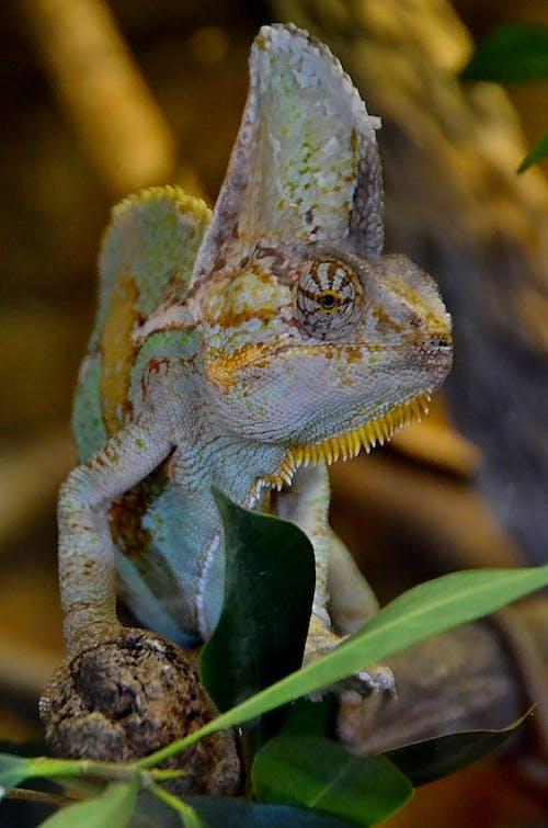 Chameleon on Brown Tree Branch