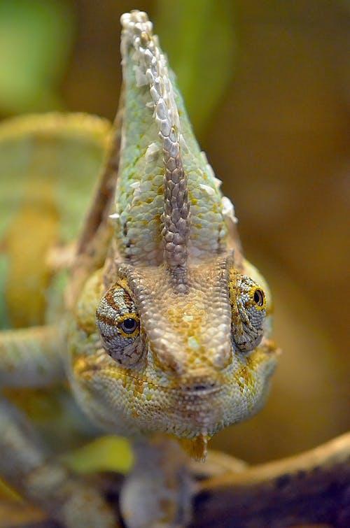 Close Up Shot of a Chameleon