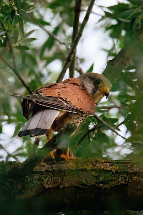 Free stock photo of bird, bird eye, birds of prey, falco tinninculus