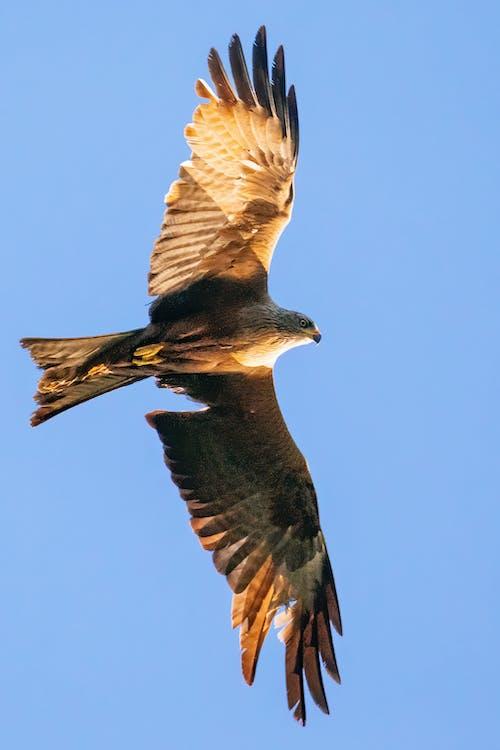 Free stock photo of bird eye, birds of prey, Black Kite, nature