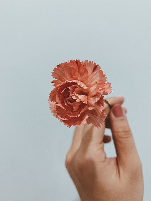 Person Holding Pink Flower in Close Up Photography
