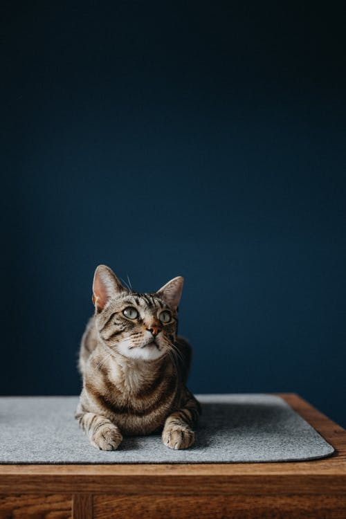 Brown Tabby Cat on White Table