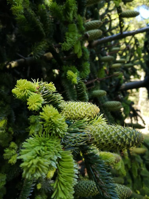 Free stock photo of closeup, cone, pine
