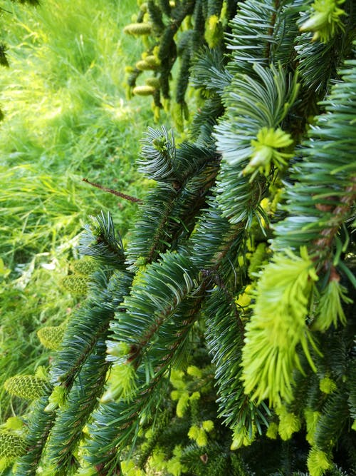 Free stock photo of bright, green, pine