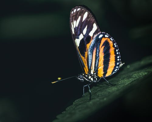 Closeup of Lycorea halia butterfly with black and orange wings sitting on green leaf in dark woods