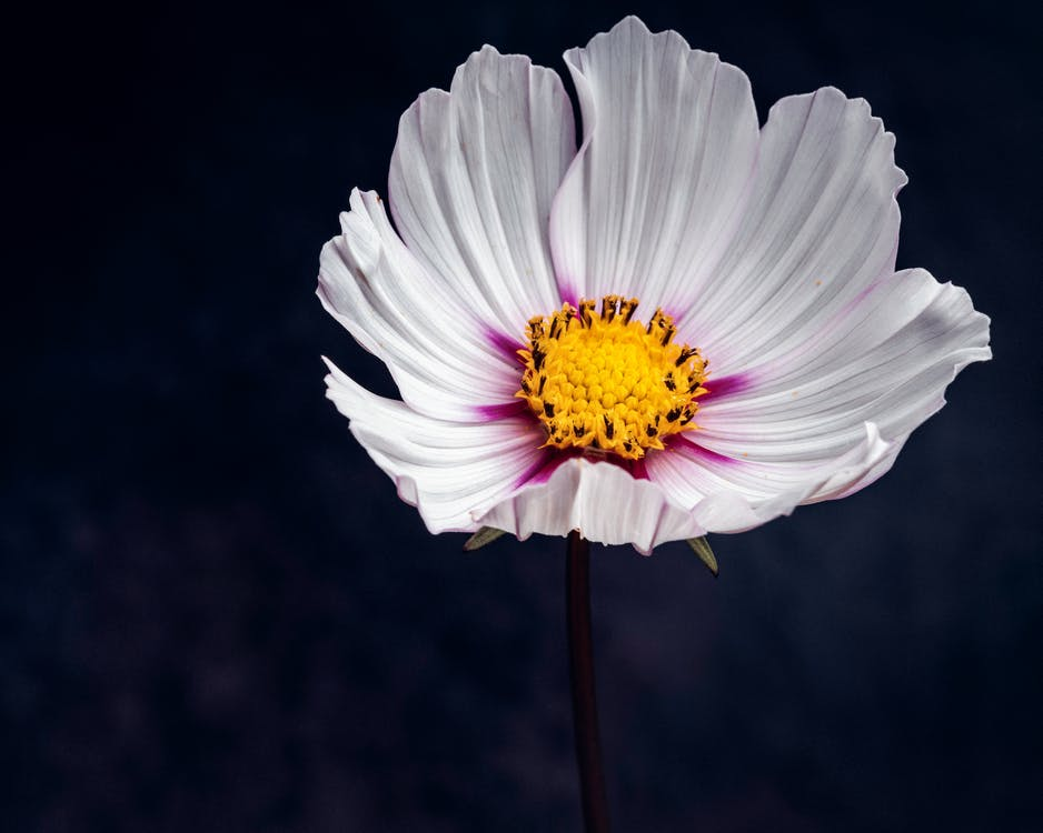Closeup of delicate Garden Cosmos flower with white petals blooming in dark park on blurred background