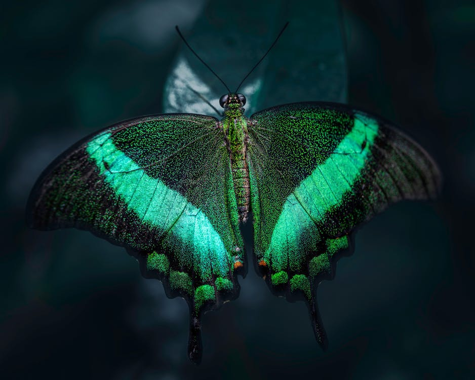 Macro view of Common banded peacock butterfly with green stripes on black wings sitting on leaf in dark woods