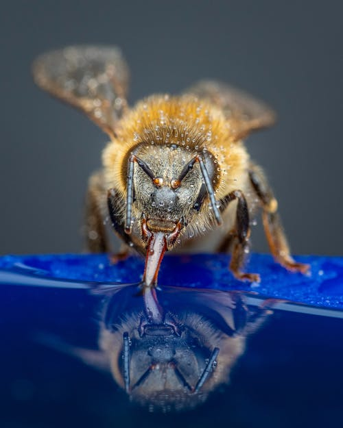 Macro of fluffy bee drinking sweet nectar from blue blooming flower in nature