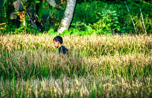 Fotos de stock gratuitas de adulto, agricultura, al aire libre, arroz