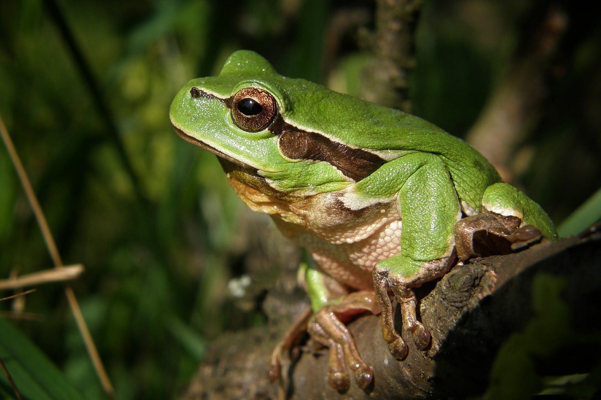 Green Frog in Brown Wood