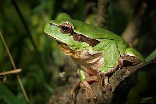 Immagine gratuita di anfibio, animale, macro, raganella