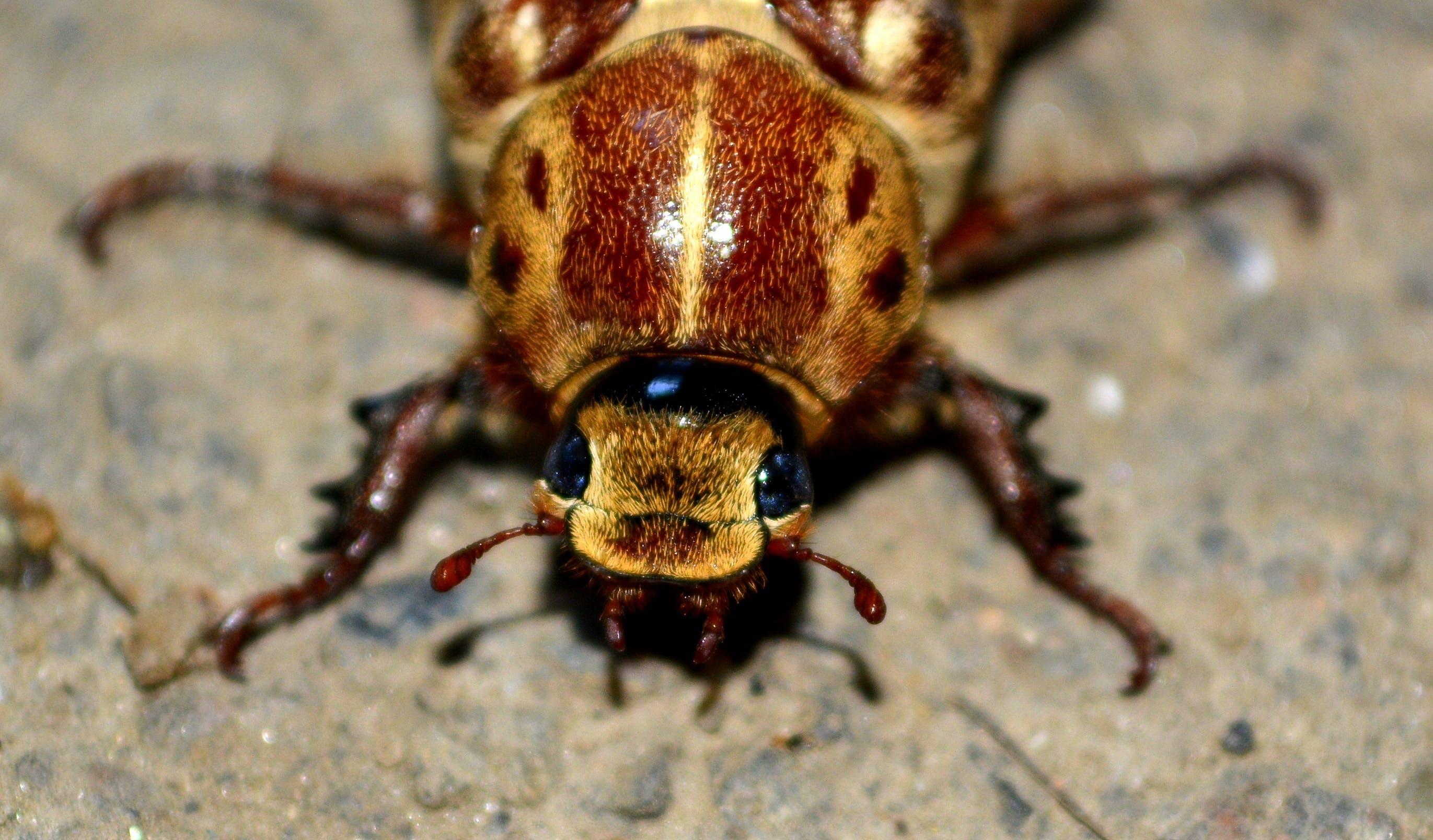 Foto profissional grátis de animal, besouro, close, inseto