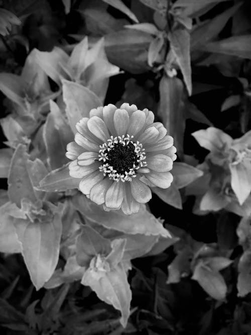 Free stock photo of beautiful flower, black and white, close up, flower