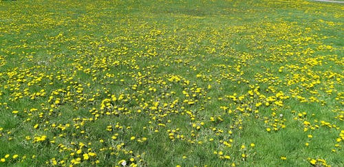 Free stock photo of dandelion, dandelions, field, grass