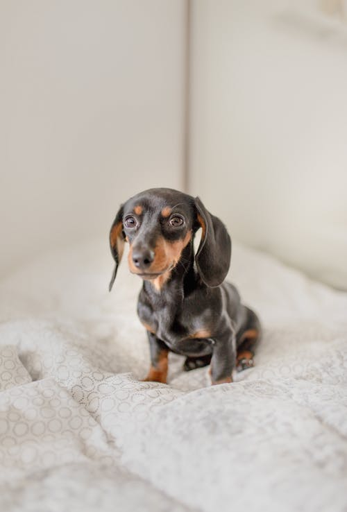 Cute little Dachshund dog sitting on bed