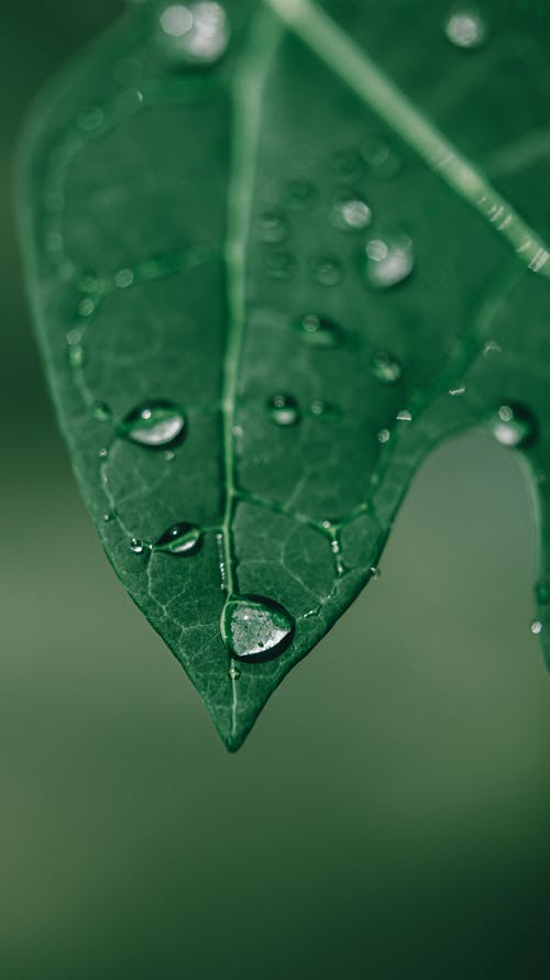 Closeup of morning dew on fresh green leaf of plant growing in garden