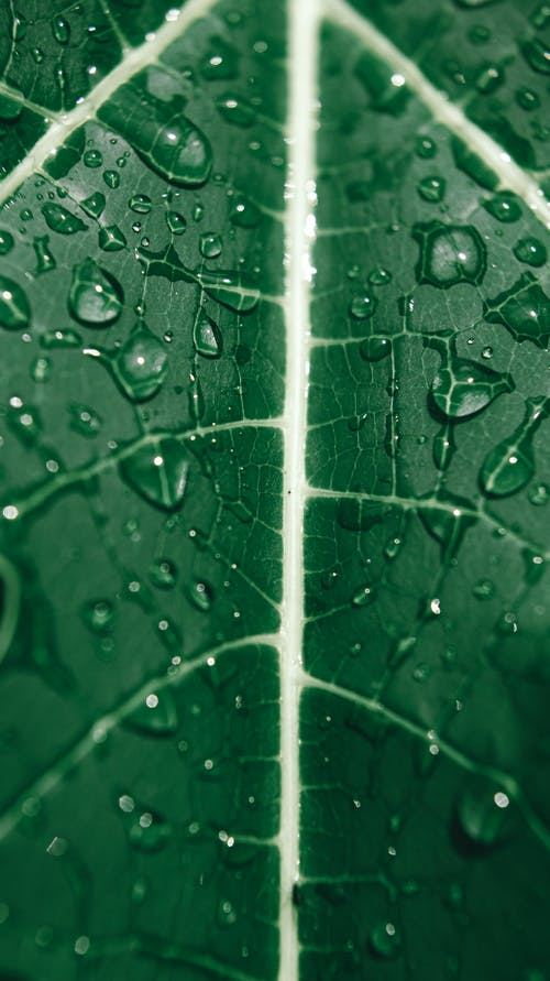 Closeup of fresh green wet textured leaf with veins and water drops as abstract background