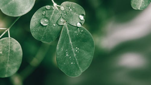 Closeup of drops of dew on fresh green leaves of Moringa oleifera plant growing in lush garden in sunlight
