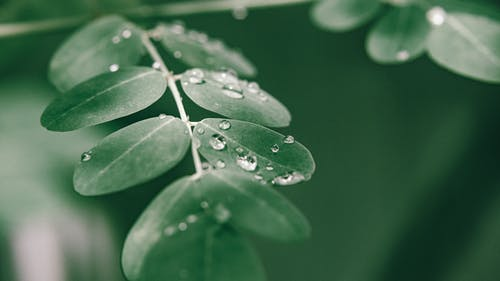Moringa oleifera tree with wet green leaves in forest