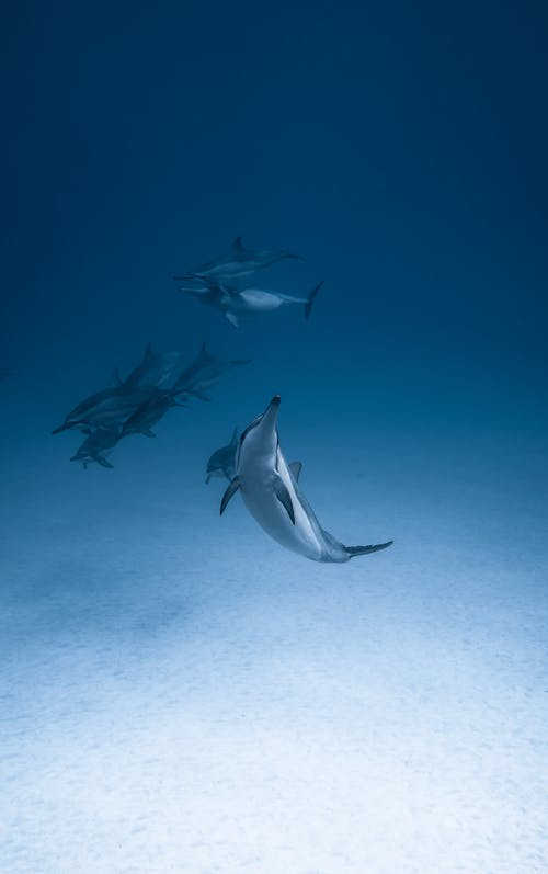 Swimming dolphins in clear water