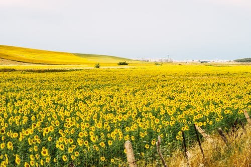 Field of yellow blooming sunflowers in countryside